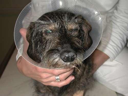 Augenoperationen bei Tieren Augenerkrankung