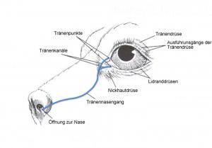 Anatomie der Tränenwege
