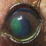 Fluoreszeintest Augentierarzt