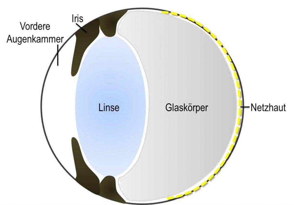Auge mit gesundem Glaskörper