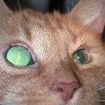 Glaukomoperation bei Katzen