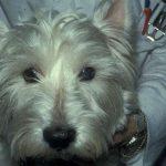 Glaukomoperation bei Hunden
