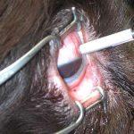 Lasertherapie Augen-Tierarztpraxis