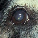 Lidfehlstellung Hund Augen-Tieraztpraxis