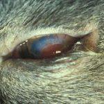 Lidfehlstellung Katze Augen-Tieraztpraxis