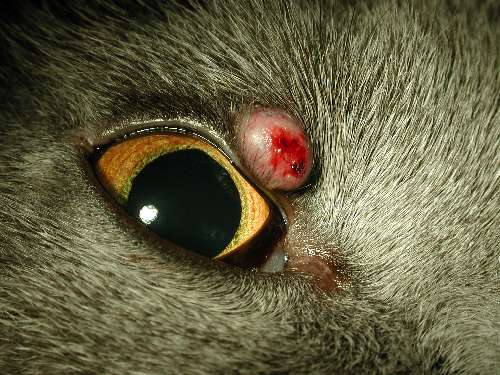 Lidverletzung Augen-Tierarztpraxis