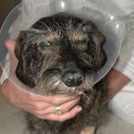 Augenoperation Hunde Augen-Tierarztpraxis