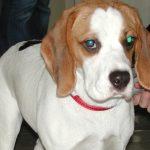 Augenerkrankungen bei Hunden