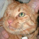 Augenerkrankungen bei Katzen