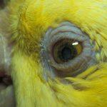 Augenerkrankungen bei Papageien und Vögel